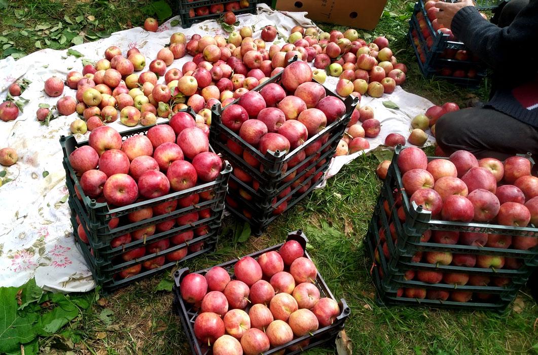 آغاز برداشت سیب از باغ های روستای روئین اسفراین,