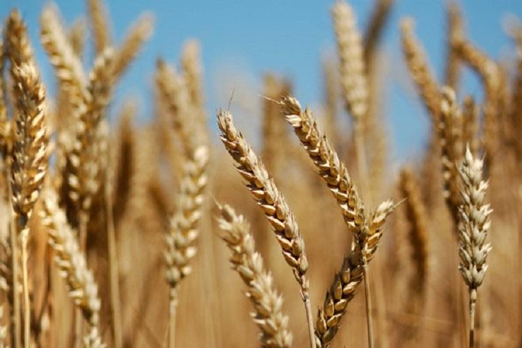 خشکسالی کیفیت گندم خراسان شمالی را کاهش داد