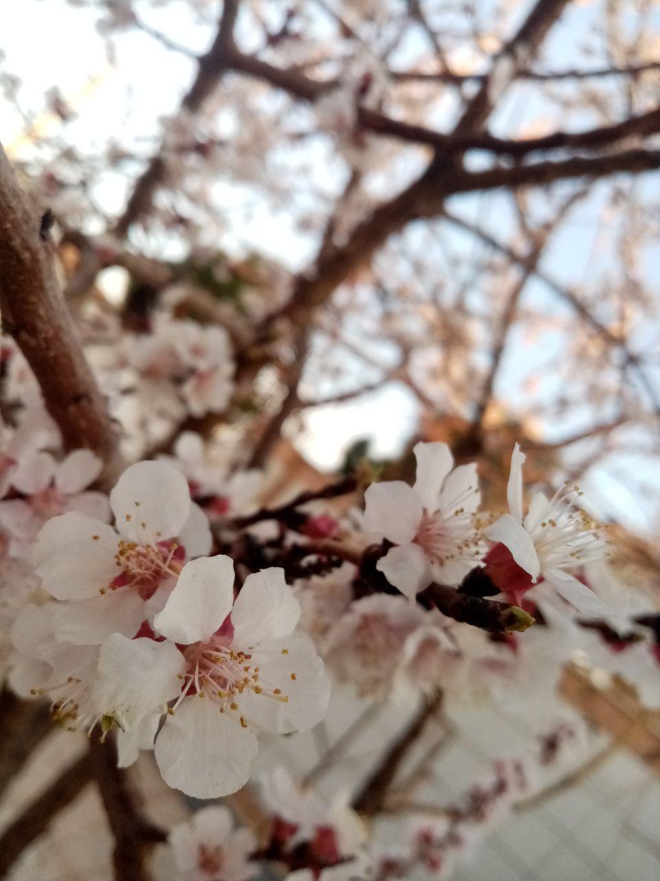 شکفتن گلهای بهاری در جاجرم