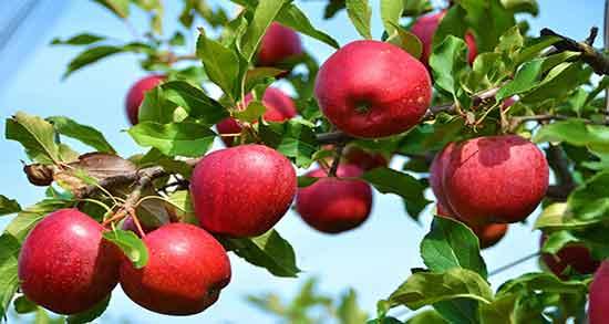 پیش بینی کاهش ۱۱ درصد تولید سیب استان به علت کم بارشی ها/اصلاح ۱۸۵ هکتار از باغات سیب استان