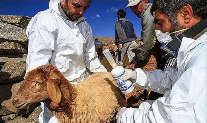 90 درصد دام سبک خراسان شمالی علیه طاعون نشخوارکنندگان واکسینه شدند