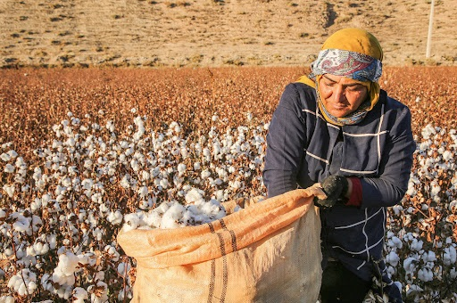 برداشت سنتی پنبه از مشکلات پیش رو کشاورزان خراسان شمالی