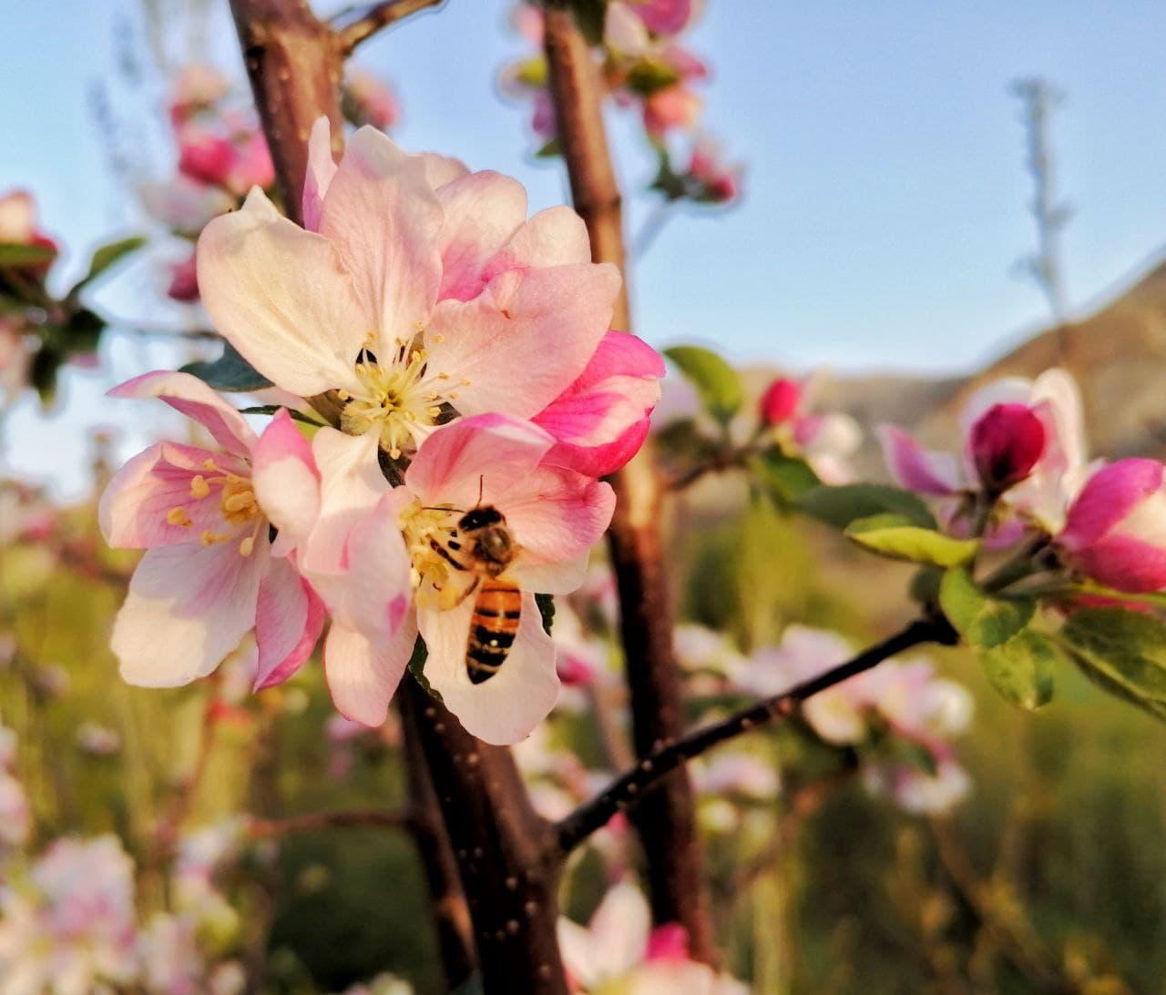 نمایان شدن عظمت آفرینش در زیبایی شکوفه های بهاری |2837313