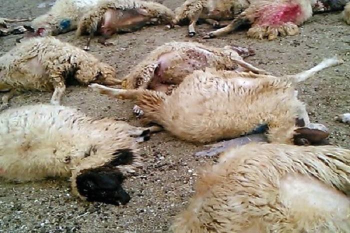 گرگ ها ۹ رأس گوسفند را در  شیروان دریدند