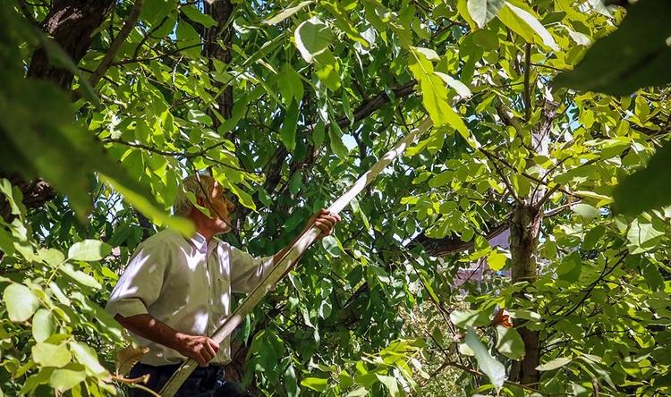 45 سقوط از درخت گردو طی 29 روز در خراسان شمالی