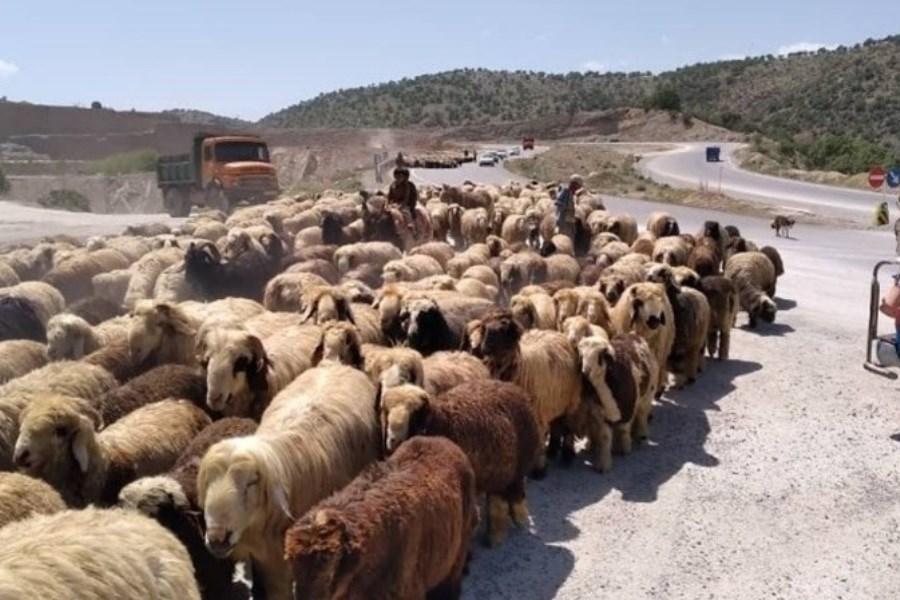 210 میلیارد ریال دام مازاد از عشایر خراسان شمالی خریداری شد