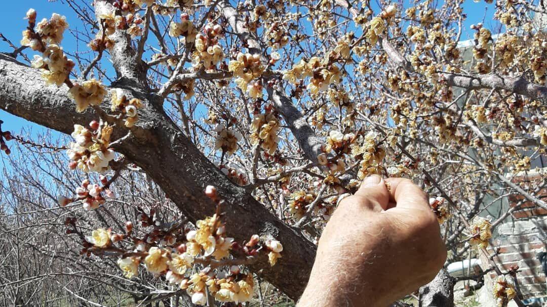 سرما26 میلیارد به کشاورزان جاجرمی خسارت زد,