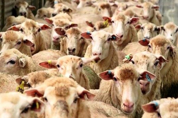 فروش و کشتار دام های مولد خسارت بزرگی است/ لایروبی نشدن 70 درصد قنات های اسفراین، تاثیر بالایی در کم آبی شهرستان دارد,