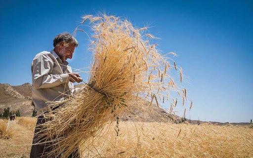 پیش بینی کاهش چشم گیر میزان برداشت غلات در بهار جاری/تغییر الگوی کشت استان به کاشت محصولات علوفه ای