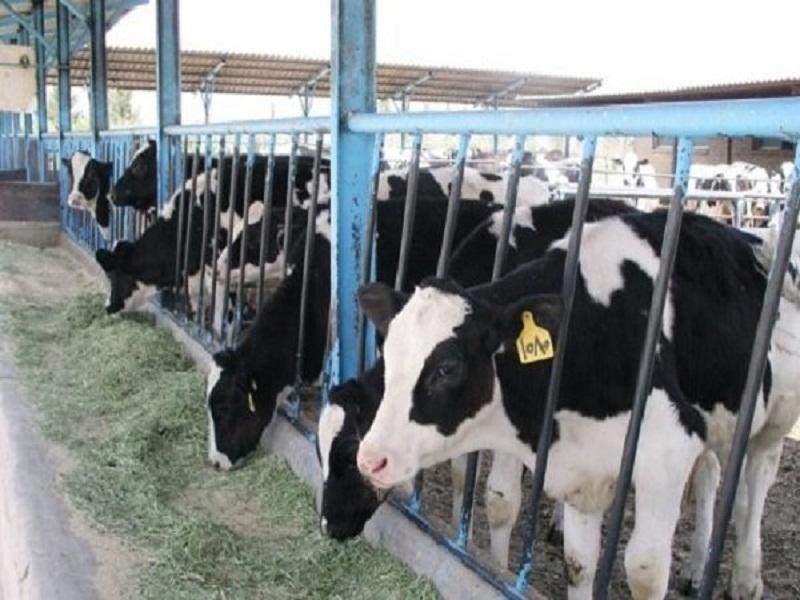دامداران جاجرمی در دام مشکلات/ از کمبود نهاده های دامی تا نبود مراکز تحویل شیر,