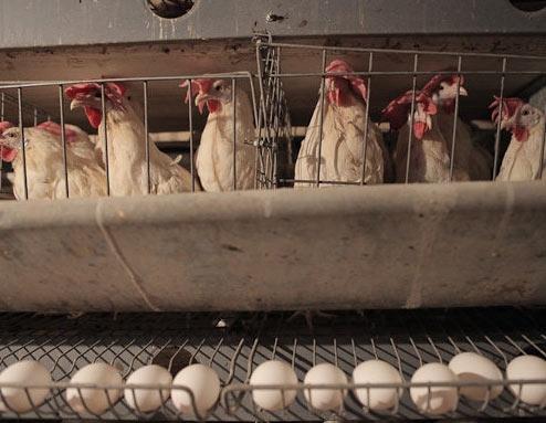 چراغ تنها واحد مرغ تخم گذار شیروان خاموش شد/صنعت مرغ در چنگال نبود نهاده دامی دولتی