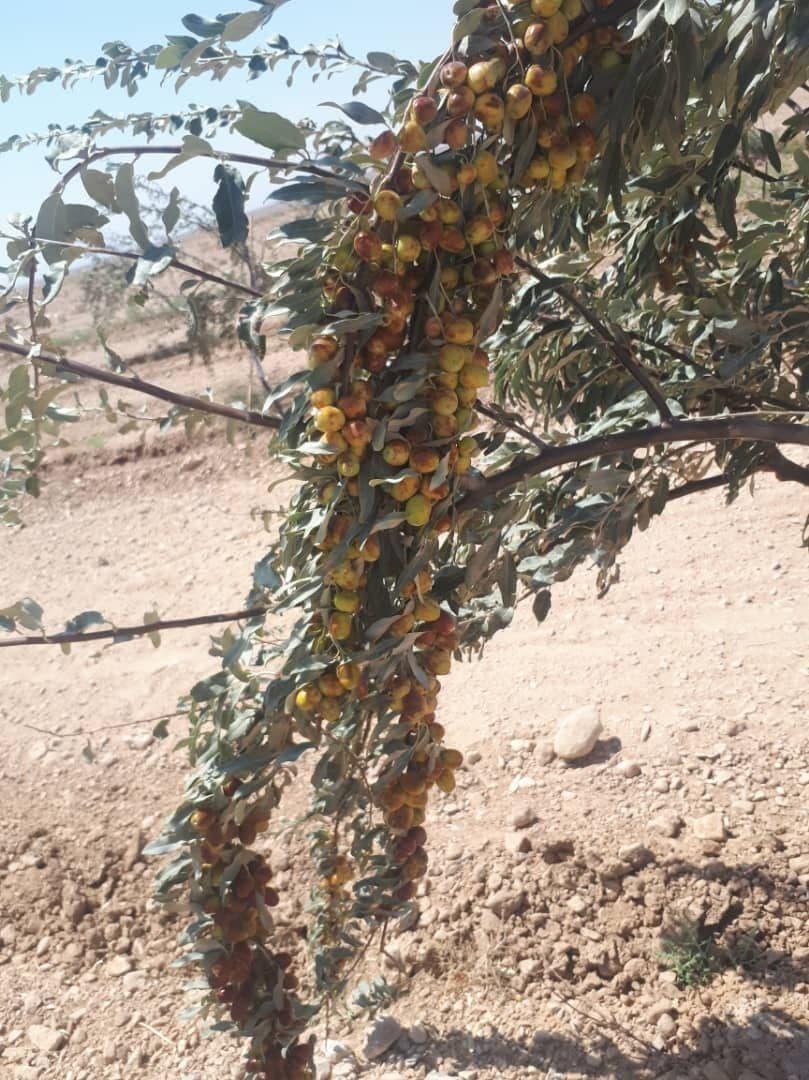 20 هکتار باغ سنجد در جاجرم احداث شد