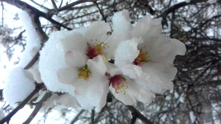 شکوفه های درختان زیر بار برف